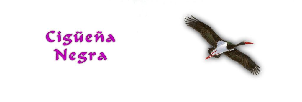 Aves en Extremadura Cigueña Negra