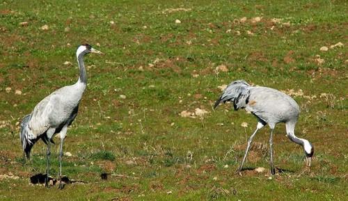 Grullas en Extremadura